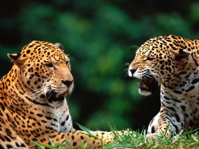 being-catty-jaguars